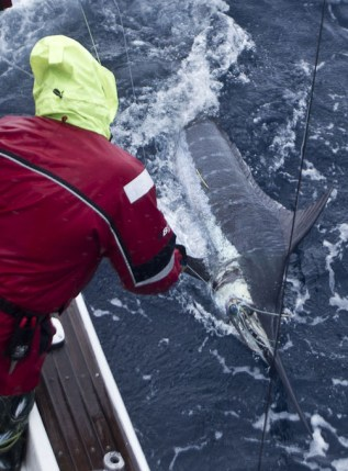 A late season Autumn Blue Marlin...