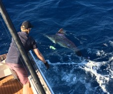 Blue Marlin fishing sydney