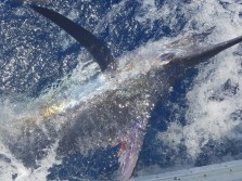 Cody's Striped Marlin...