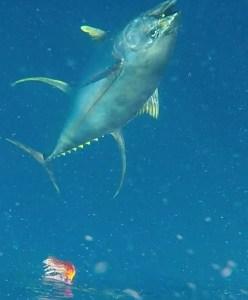 Golden Yellowfin