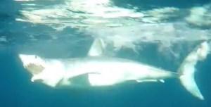 A Beautiful Mako Shark...