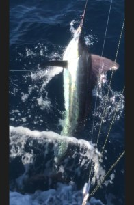 Winter Striped Marlin