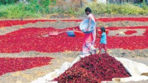 Chilli Festival begins in Khargone district