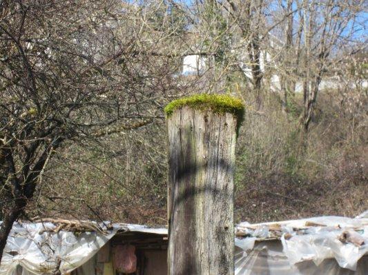 Old King Post Gets His Springtime Crown