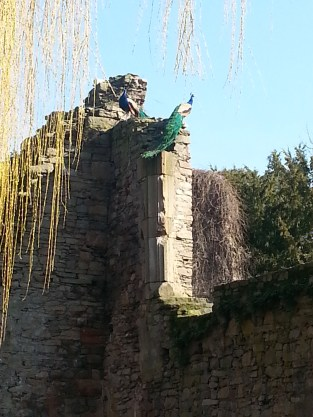 Aschaffenburg peacocks - very proud