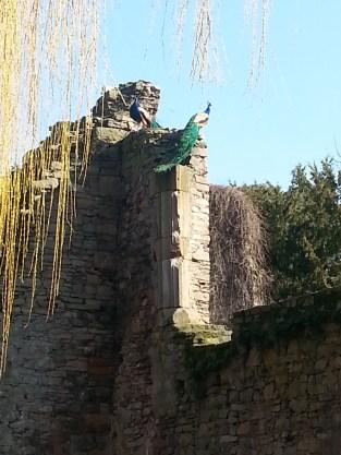 Aschaffenburg peacocks - very proud