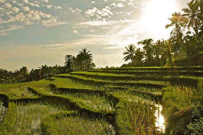 bali-yoga-retreat-rice-paddy-view