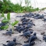 turtle conservation nicaragua