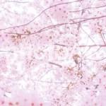 東京23区内のおすすめ桜の名所5選!2019年満開日と見頃はいつまで?