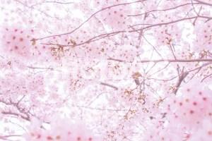 東京 桜の開花