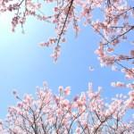 埼玉の権現堂桜堤の花見2018の見頃や見所・おすすめ・アクセス情報をご紹介