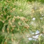 花粉症と風邪どっち?知らないと危険!見分け方のポイントと花粉の種類