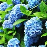 夏至の日 この日にあじさいでおまじない!金運の花には金運アップの効果がある