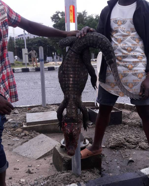 Crocodile That Surfaced From Lekki Flood (1)