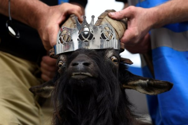 Goat Was Crowned King Of Small Town In Ireland (1)