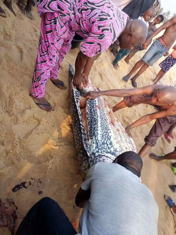 Giant Sea Turtle Nigerian Customs Barracks (3)