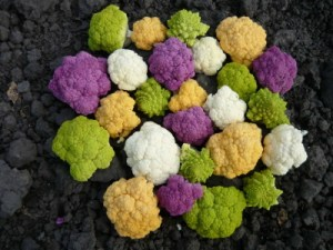2011_08_Stunning_Colored_Cauliflowers-007