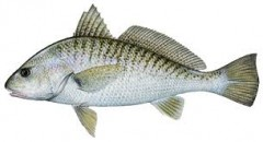 Atlantic Croaker