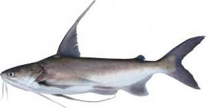 Sail Catfish3