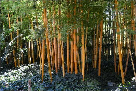 bambous cannes jaunes décoratifs