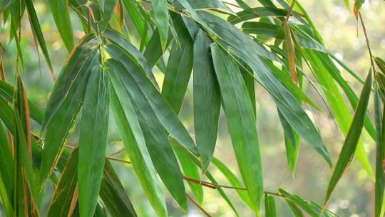 Comment planter une haie de bambous ?