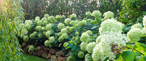 hortensias annabelle plante d'ombre