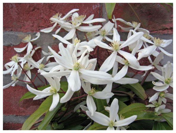 la clématite armandii, une grimpante aux fleurs blanches parfumées