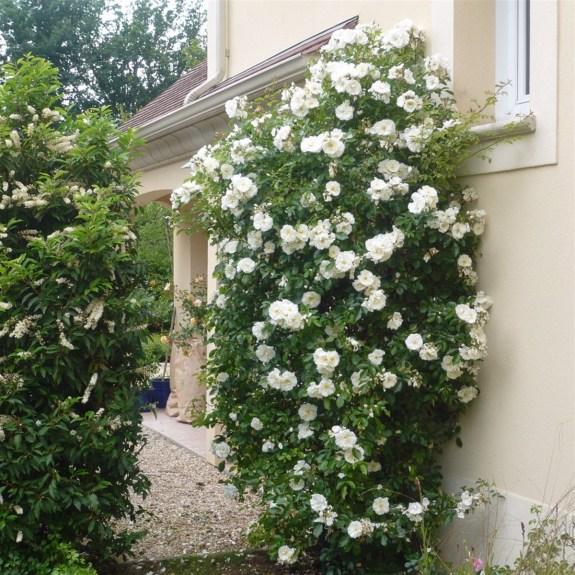 Rosier Opalia grimpant à fleurs blanches odorantes sur un mur