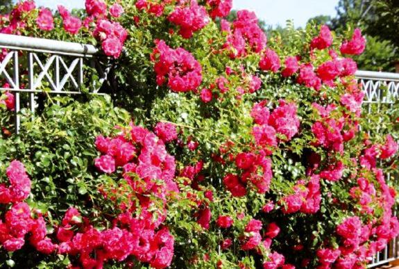 Rosier Emera grimpant, une plante grimpante à fleurs roses sur une clôture