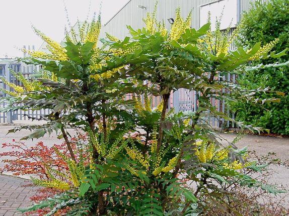 le mahonia, un arbuste qui résiste sous un arbre