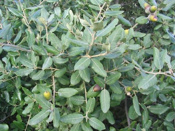 feuillage chêne vert