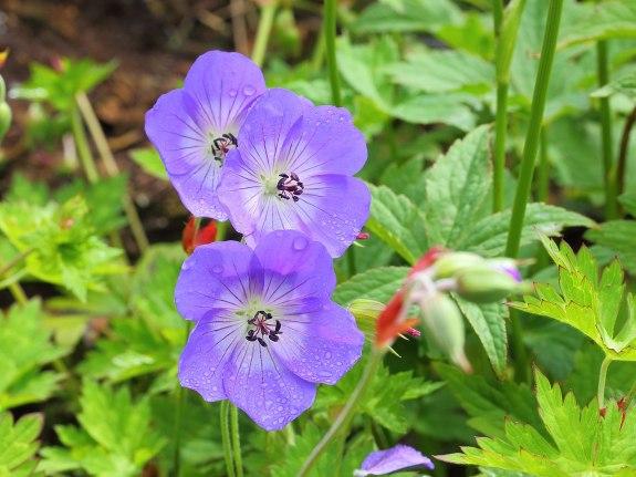 géranium vivace Roxanne à fleurs bleues