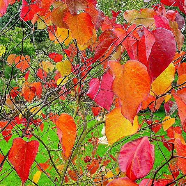 Arbre de Judée (Cercis siliquastrum) petit arbre pour petit jardin