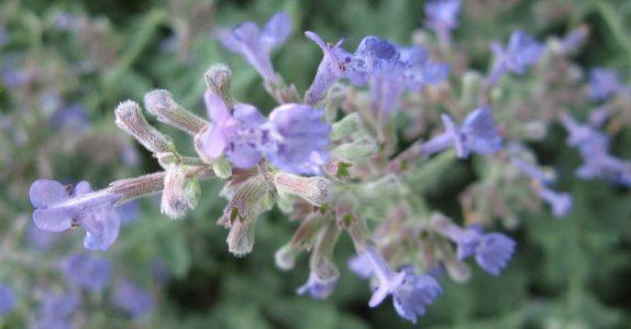 Nepeta aromatique et mellifère