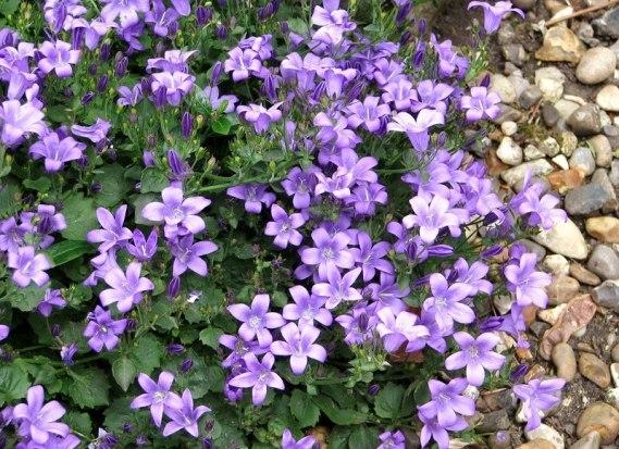 campanula muralis une vivace rampante à fleurs bleues