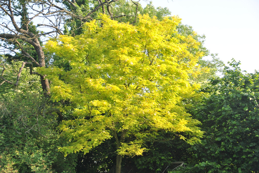 Gleditsia triacanthos sunburst petit arbre pour petit jardin