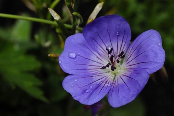 géranium vivace Roxanne en fleurs