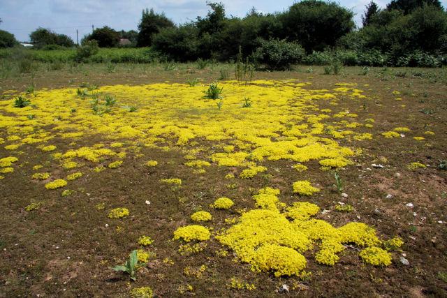 Sedum acre plante grasse couvre sol rampante de couleur jaune pour l'exterieur resistant au gel