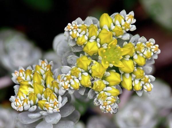 Sedum spathulifolium Cape blanco, une plante grasse exterieur resistant au gel tapissante à fleurs jaunes et feuillage vert clair