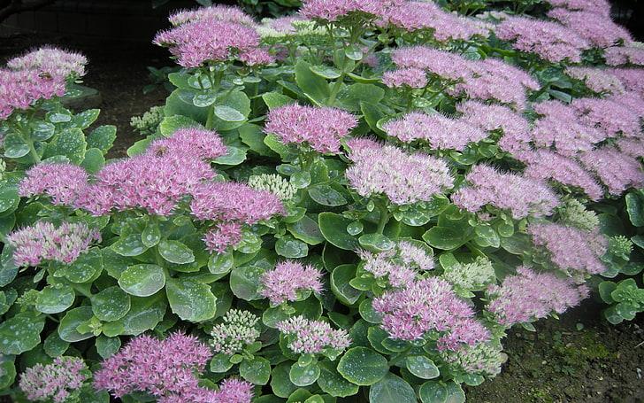 Plante grasse exterieur non gélive Sedum spectabile brilliant à fleurs roses