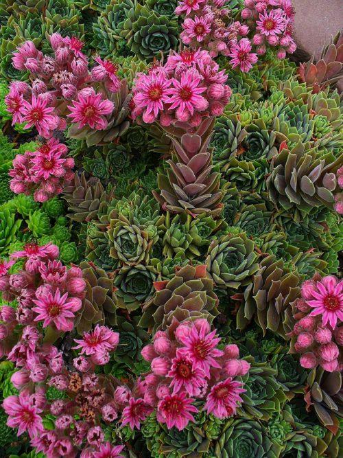 Plante De Rocaille Qui Ne Gele Pas : plante, rocaille, Superbes, PLANTES, GRASSES, EXTERIEUR, Resistant, Bonus)