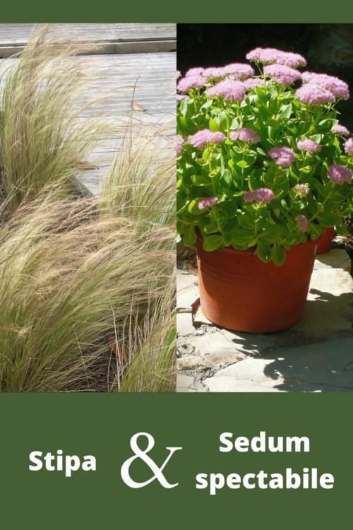 association de feuillage entre plante grasse succulente extérieur Sedum et graminée stipa