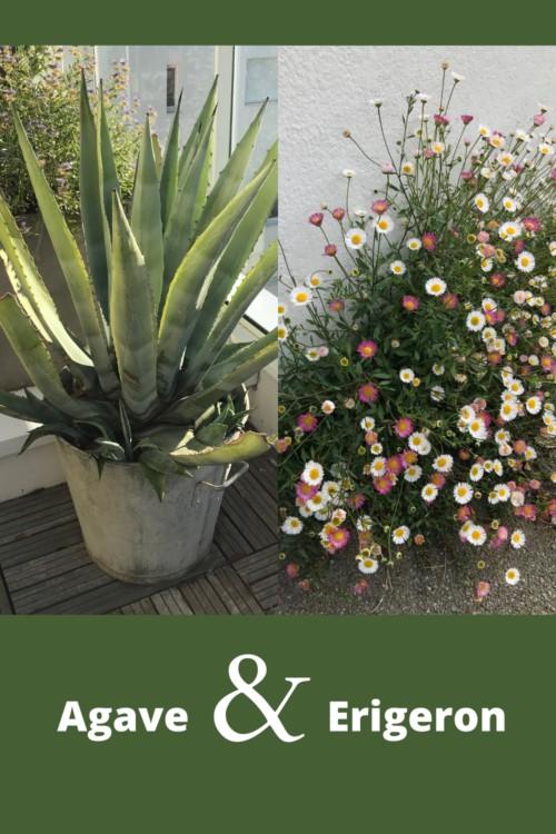 association de feuillage plante grasse exterieur agave avec érigerons