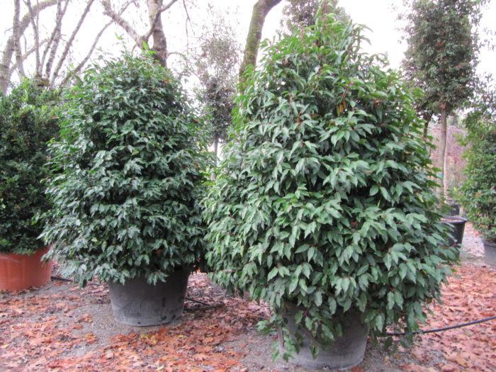 port du laurier du portugal ou prunus lusitanica, un arbuste persistant compact pour se cacher des vis à vis