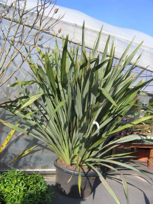 Le phormium tenax est un arbuste persistant original en haie