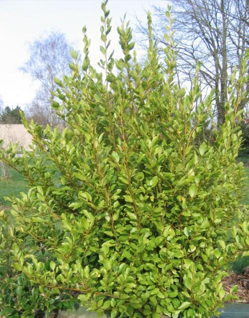 L'arbuste persistant griselinia au feuillage vert clair et bois jaune pour une haie brise vue