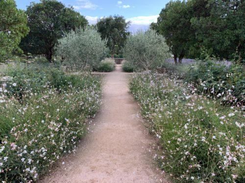 planter un olivier avec des vivaces