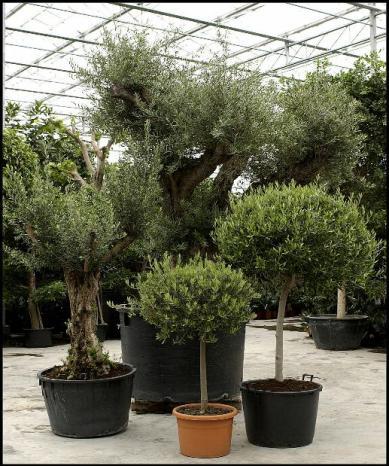 choisir la bonne forme et variété d'olivier pour le planter dans son jardin
