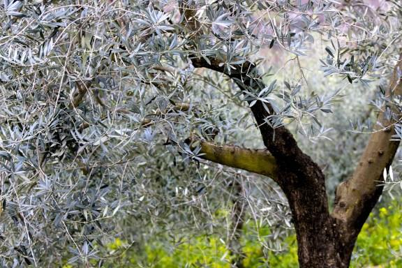 comment faire pousser un olivier, cet arbre persistant au feuillage lumineux
