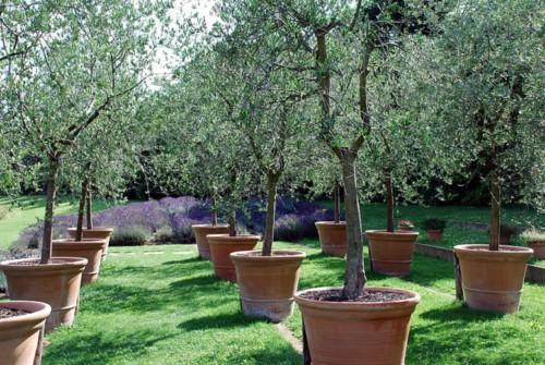 pot en terre cuite pour planter un olivier